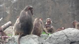 ときわ動物園 ボンネットモンキーの赤ちゃん4頭とママ友。仲良く子育て...