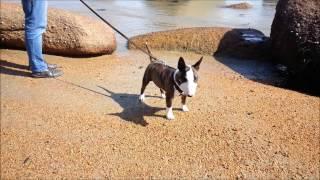 Iquitto Bull Terrier Miniature En Vacances