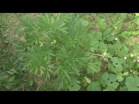 Ито-пион (посадка и первые бутоны) и травянистый пион из черенка.