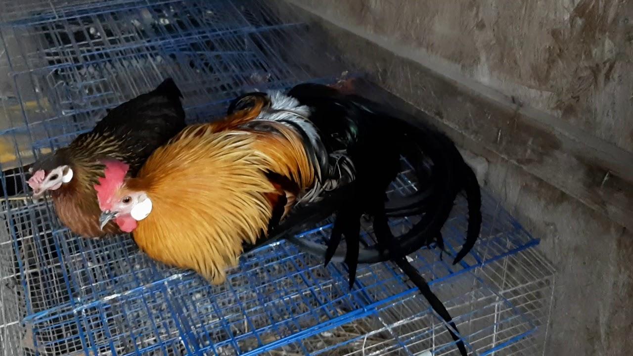 capre de găină de vierme