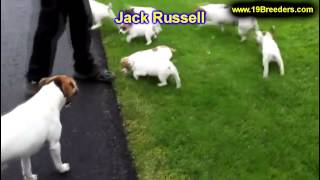 Jack Russell, Puppies, For, Sale In Toronto, Canada, Cities, Montreal, Vancouver, Calgary