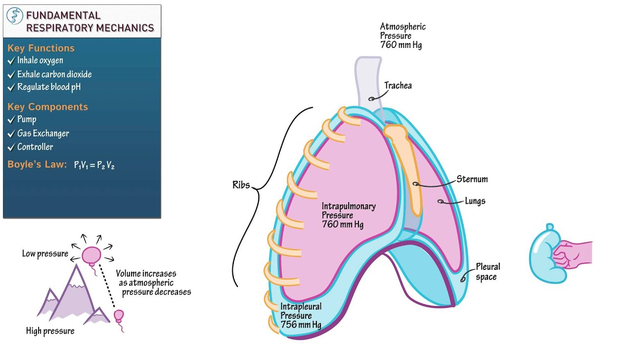 Anatomy and Physiology: Fundamental Respiratory Mechanics - YouTube