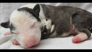 Bull Terrier Puppies - 7 Days Old