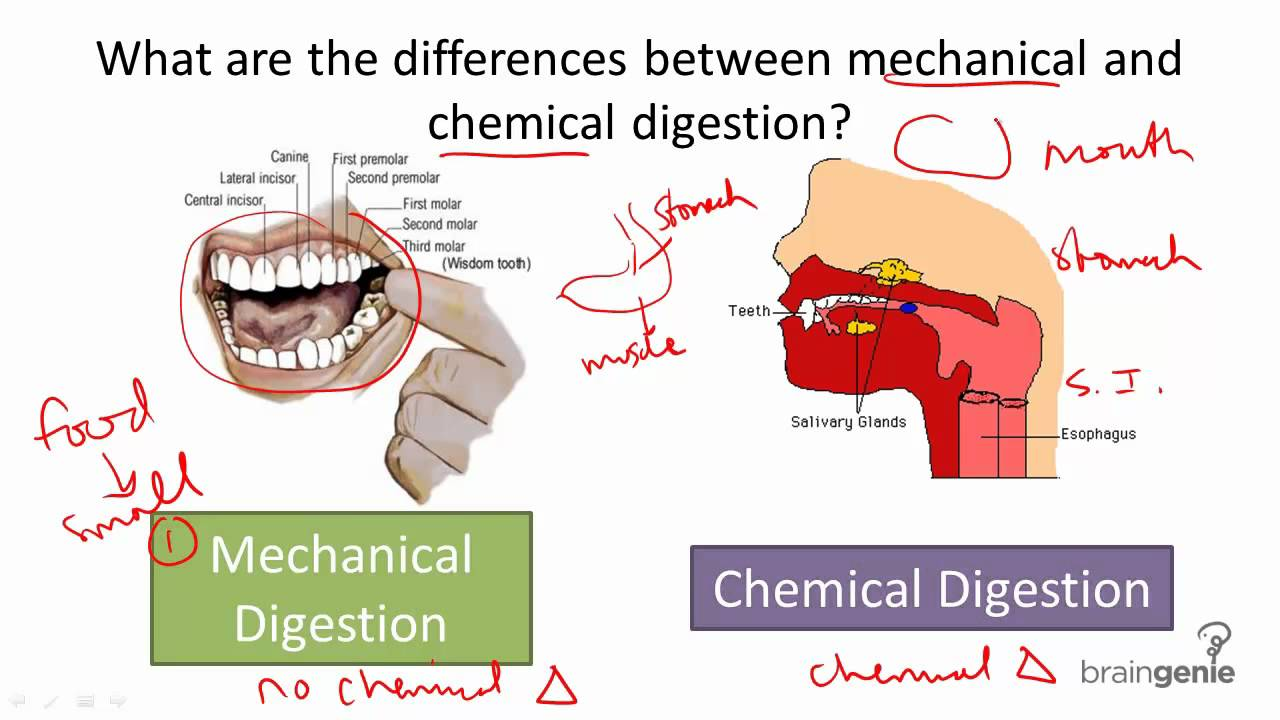 8.5.3 mechanical v chemical digestion - youtube, Cephalic Vein