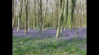 A Carpet of Bluebells - Poem