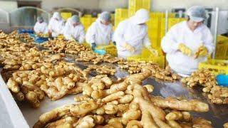 How To Harvest Ginger? -Modern Ginger Agriculture Ginger Farming Ginger Harvesting Ginger Processing