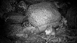 Mice Collect Cotton from Thermacell Tick Control Tubes