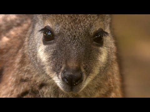 Wallabies: New Zealand's Forgotten Pest