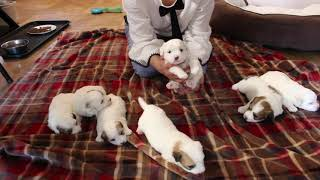 Coton Puppies For Sale - Kara 4/27/21