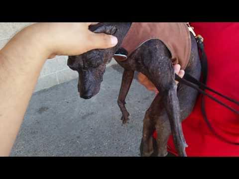 Xoloitzcuintli- Ancient Mexican Dog Breed