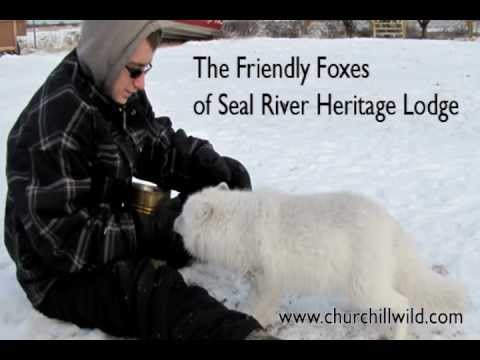 The Friendly Foxes of Seal River Heritage Lodge