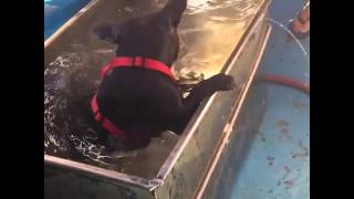 Diving frenchie