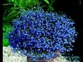 Лобелия каскад и лобулярия Цветение и уход Lobelia And Aromatic Lobularia mp3