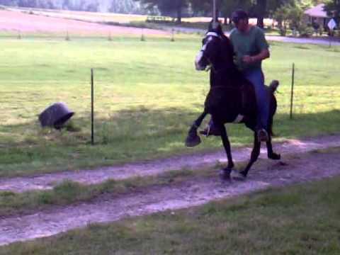 General Jazz -2 year old walking horse- stud colt  *FOR SALE*