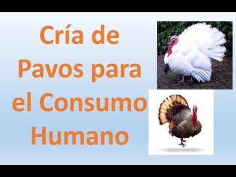 cr a de pavo meleagris sp para el consumo humano youtube