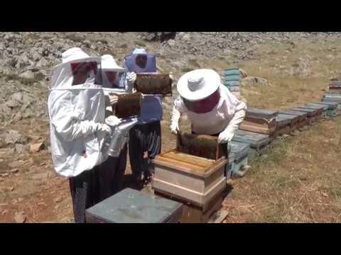 Bal Üretimine Kadın Eli, Bayan Arıcılar Bal Sağdı