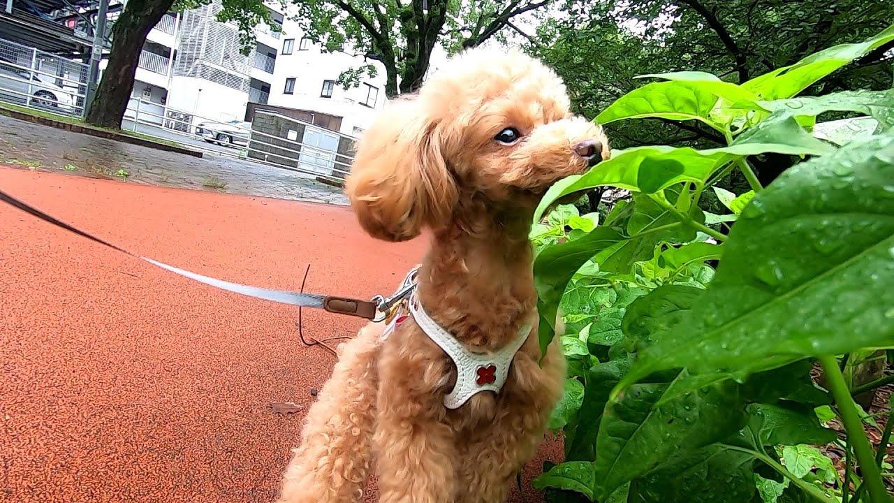 【犬の夏休みモーニングルーティン】起床~トイレ~お散歩~二度寝【トイプードルのコロン】