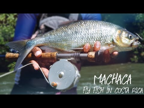 Machaca On The Fly - Fly Fish In Costa Rica