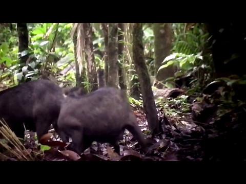 2017-4 Wild Pigs Ecuador Amazon kss