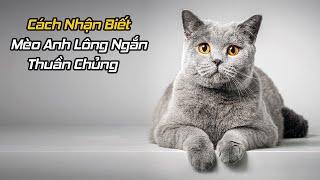 Cách Nhận Biết Mèo Anh Lông Ngắn Thuần Chủng