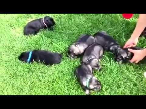 Aggie's Standard Schnauzer puppies!