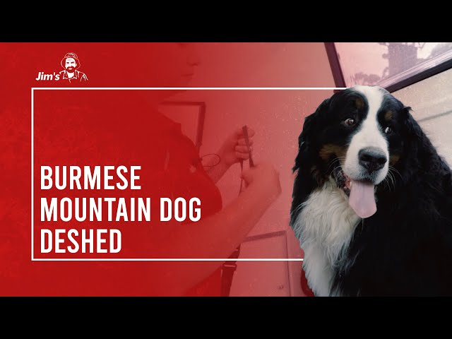 Meet Jen and Odin from Jim's Dog Wash who shows you how to deshed a Burmese Mountain Dog.