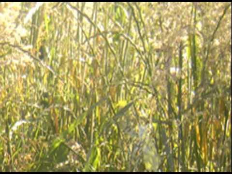 Reproduccion asexual de las plantas rizomas de curcuma
