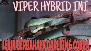 INILAH ULAR ALIEN CIPTAAN MANUSIA YANG MEMATIKAN | KING COBRA MAH LEWAT !