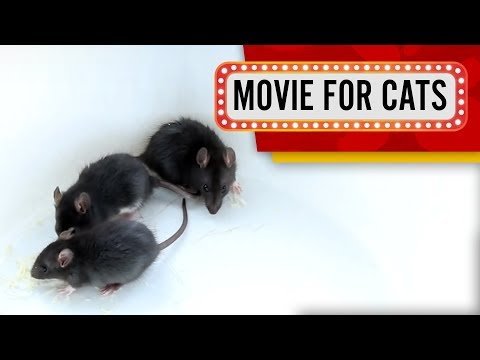 MOVIE FOR CATS - BLACK RATS 1 HOUR VERSION (ENTERTAINMENT VIDEOS FOR CATS TO WATCH)