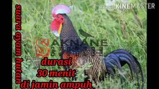 Download Pikat ayam hutan di jamin ampuh
