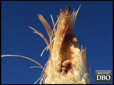 Circuito Tecnológico do Milho avalia condições das lavouras