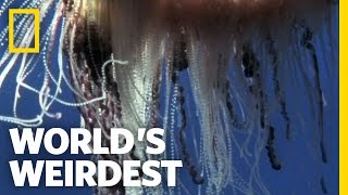Portuguese Man-of-War | World