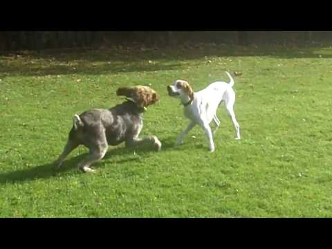 German Wire Haired Pointer Suggs & English Pointer Gizmo.