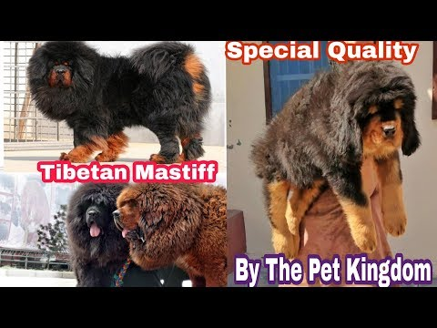 Tibetan Mastiff in India Special Quality by Doggyz Divine Breed information 8700287843