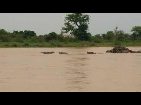 Hippos - Niger River