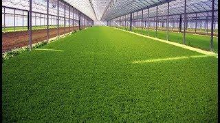 видео Выращивание зеленого лука как бизнес