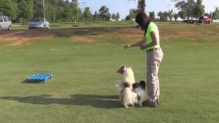 Papillon Dogs Training At Parks