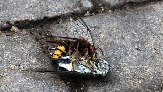 Cicada Killer Wasp vs. Cicada