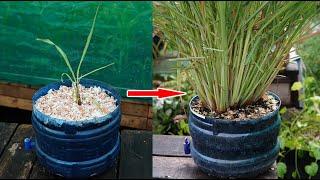 Mẹo trồng 1 cây thành 1 bụi sả cao 1.2m | Tips to grow from 1 citronella tree to 1 lemongrass bush