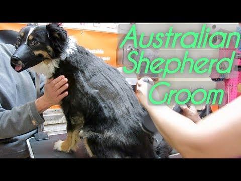 Dog Australian Shepherd Grooming Tips