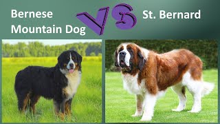 Bernese Mountain Dog VS St. Bernard  Breed Comparison  Differences