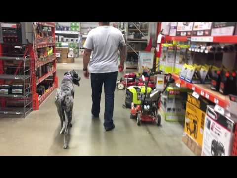 9-Month Old Great Dane, Duchess!  Off Leash K9 | Great Dane Dog Trainers