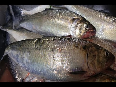 Shad fishing 2016 bonneville dam columbia river 2016 for Bonneville dam fish count