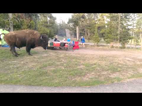 Bison on Yellowstone Campgrounds