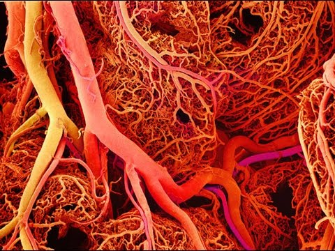 Anatomy and Physiology of Blood Vessels