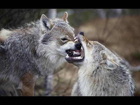 Wolf Drums Music. Native American Wolf Wind Drum Music. Meditation Drums Music.
