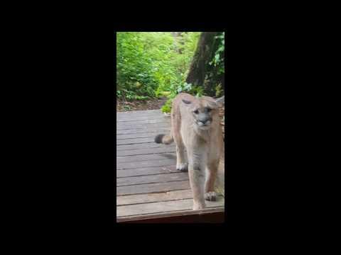 Cougar / Mountain Lion / Sighting