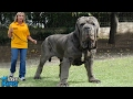 10 BIGGEST DOGS in the World | LIST KING