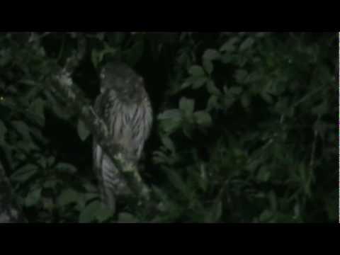 Screech Owl in the woods