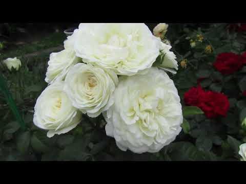 Мой Розовый Сад 2020г. Транквилити (Tranquillity) Английская роза